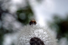 Bee Dandylion